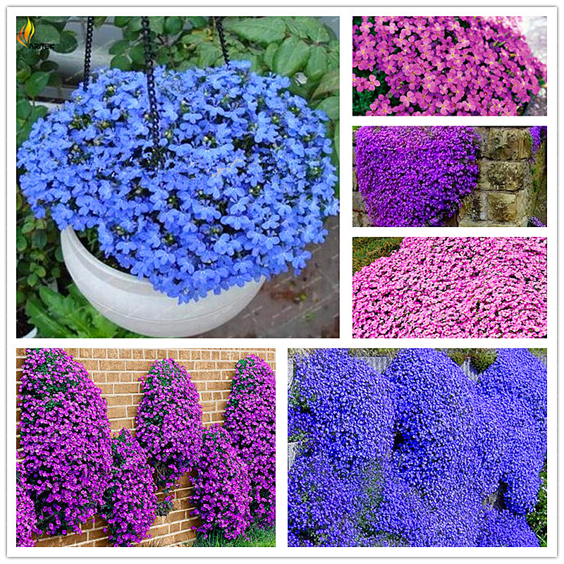 Popular Purple Ground Cover Buy Cheap Purple Ground Cover