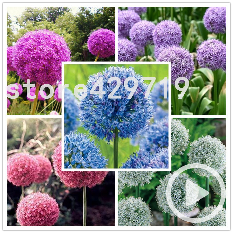 100 Giant Allium Giganteum Graines Vivace Perennial Violet Magenta Fleur Boule Seed pompon for bonsai seeds(China (Mainland))