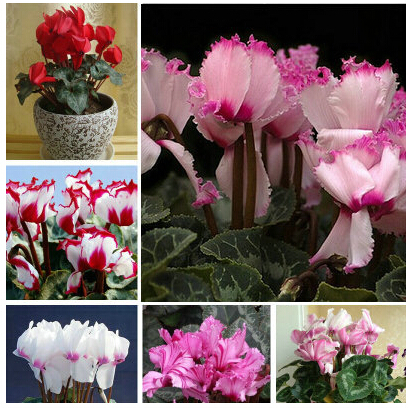 cyclamen seeds, Cyclamen seedlings seeds,Primrose flowers seeds, 100 pcs / bag(China (Mainland))