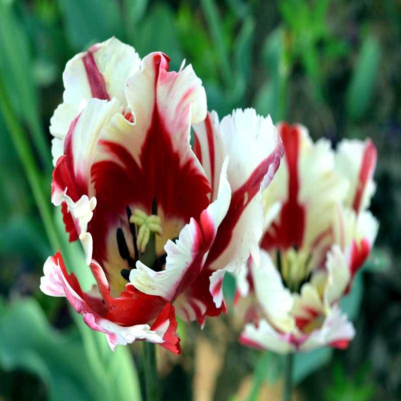 New varieties 120PCS White & red stripe pattern petals tulip flowers Bulgarian high-grade seed plants(China (Mainland))