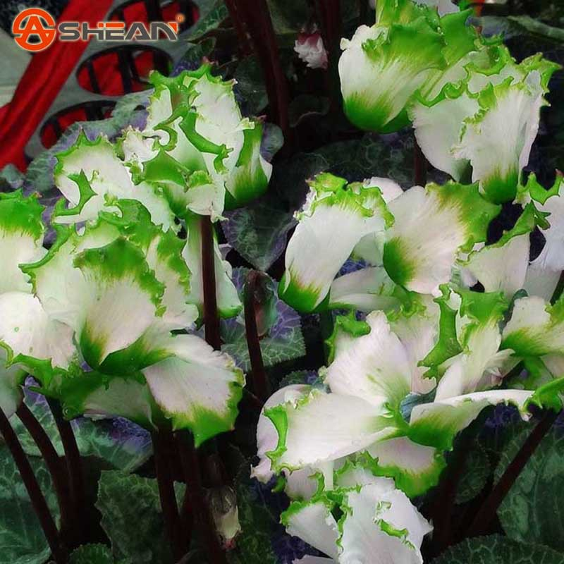 Hot Sale 7 Colors Can be Choose Cyclamen Flower Seeds Perennial Flowering Plants Cyclamen Seeds - 100 PCS(China (Mainland))