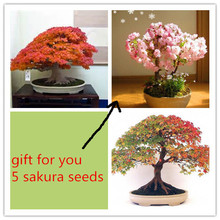Buy 10 pcs American Maple Tree Seeds Bonsai Plants send 5 sakura seeds gift rare Sementes seeds flower pot planters for $1.55 in AliExpress store