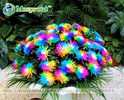 100PC Rainbow Chrysanthemum Flower Seeds, Ornamental Bonsai, Rare Color ,New Choose More Chrysanthemum Seeds Garden Flower Plant(China (Mainland))