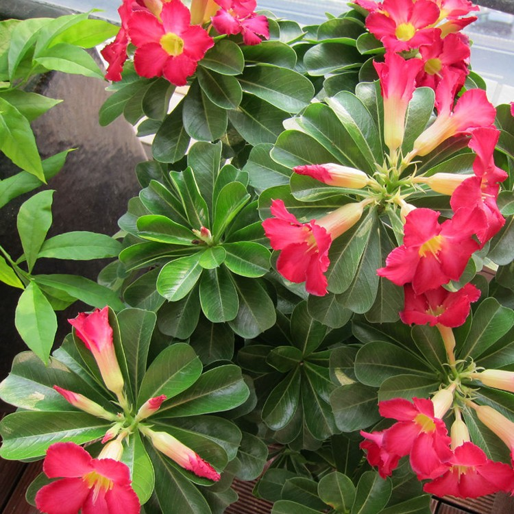 desert rose planting instructions