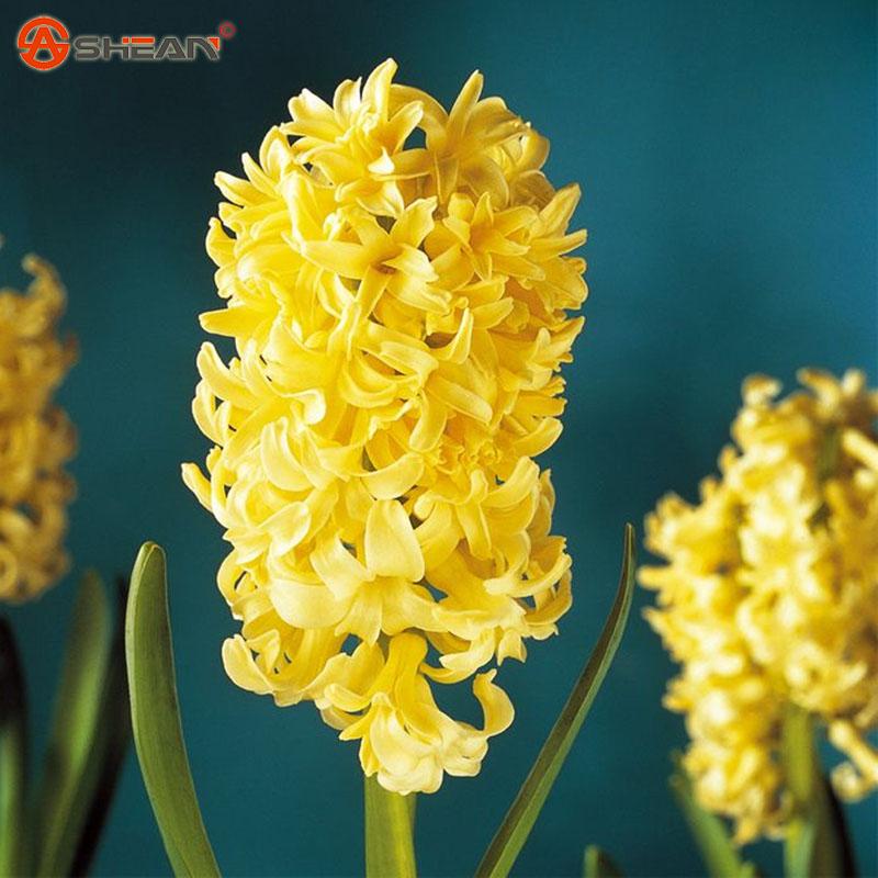 jaune jacinthe achetez des lots petit prix jaune jacinthe en provenance de fournisseurs. Black Bedroom Furniture Sets. Home Design Ideas