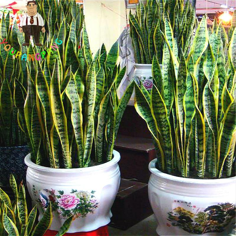 online kaufen gro handel cactus indoor plants aus china cactus indoor plants gro h ndler. Black Bedroom Furniture Sets. Home Design Ideas