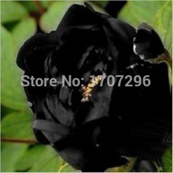 Super Black Tree Peony Seeds, 'Nigra' Rare Peony Tree Plant - 3 pcs / lot(China (Mainland))