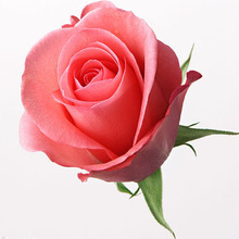 Rose seeds flower colorful rose seeds  100 pcs seeds