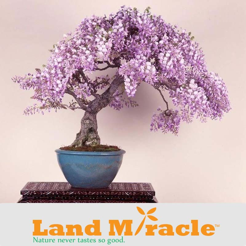 100% Real & Fresh Wisteria seeds, free shipping cheap wisteria seeds, Bonsai balcony flower, wisteria potted seed - 5 pcs/pack(China (Mainland))