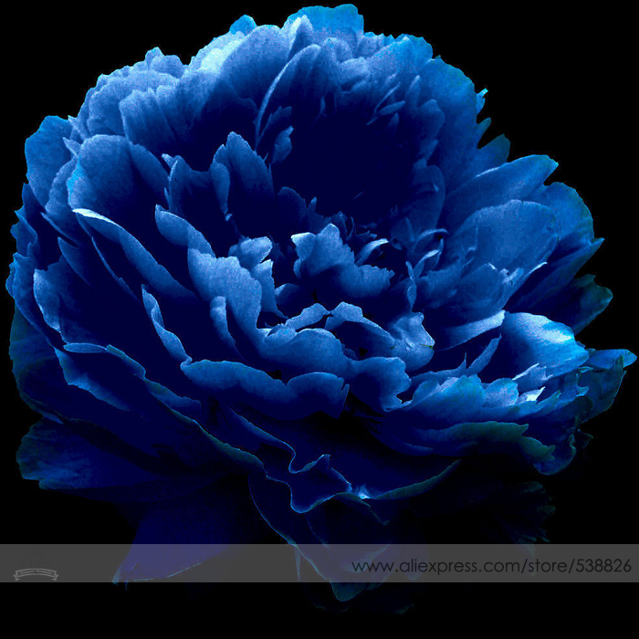 Very Rare 'Luo Yang' Dark Blue Tree Peony Flower Seeds, Professional Pack, 5 Seeds / Pack, New Variety Light up Your Garden(China (Mainland))