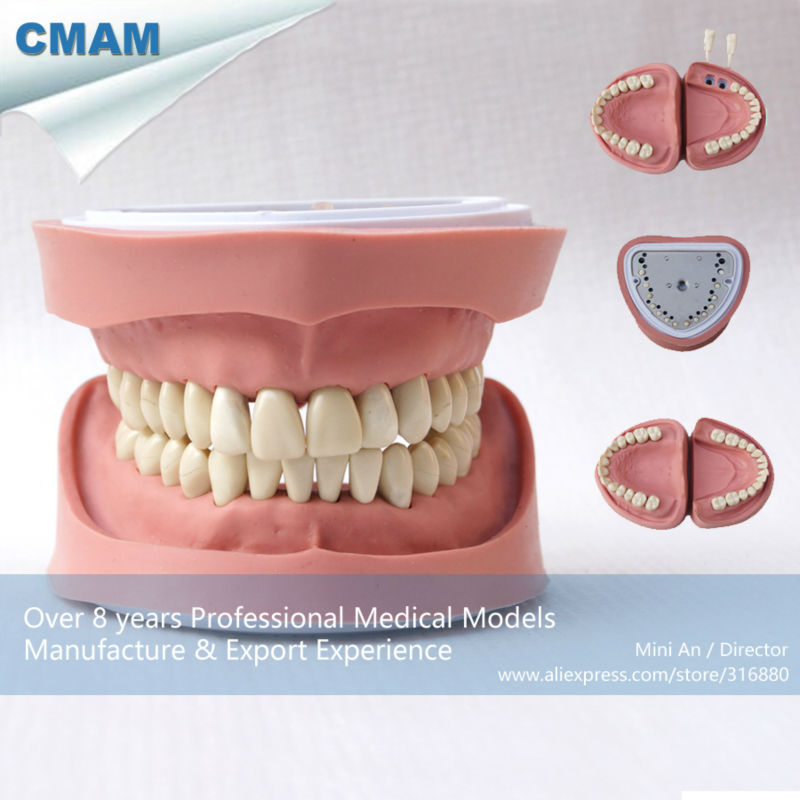 CMAM Dental Anatomical Model for Medical Science Teaching Natural Size Mandible Model Right Mandible Open Teeth Model 2 Parts<br><br>Aliexpress