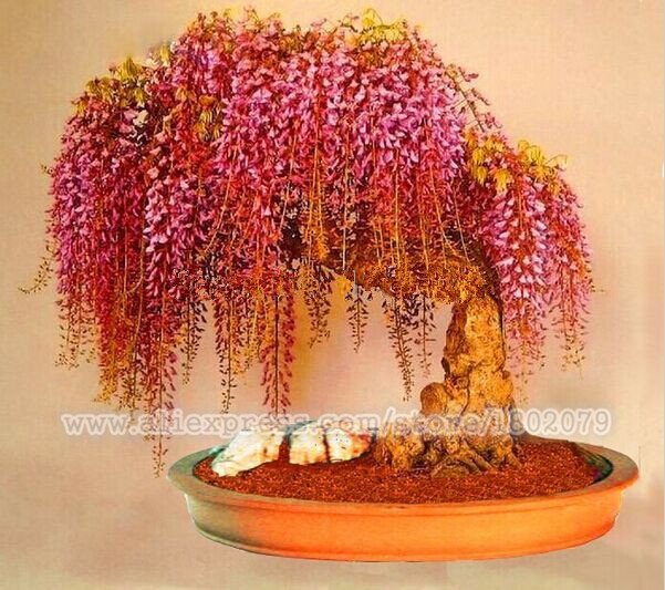 20PCS rare gold mini wisteria bonsai tree seeds ,potted flower seeds ,Indoor perennial ornamental plants for DIY home & garden(China (Mainland))