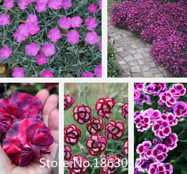 Hardy Perennial Dianthus 'Scents of Summer Pink Peony' Carnation Flower Seeds, Professional Pack, 100 Seeds / Pack, Fragrant Flo(China (Mainland))