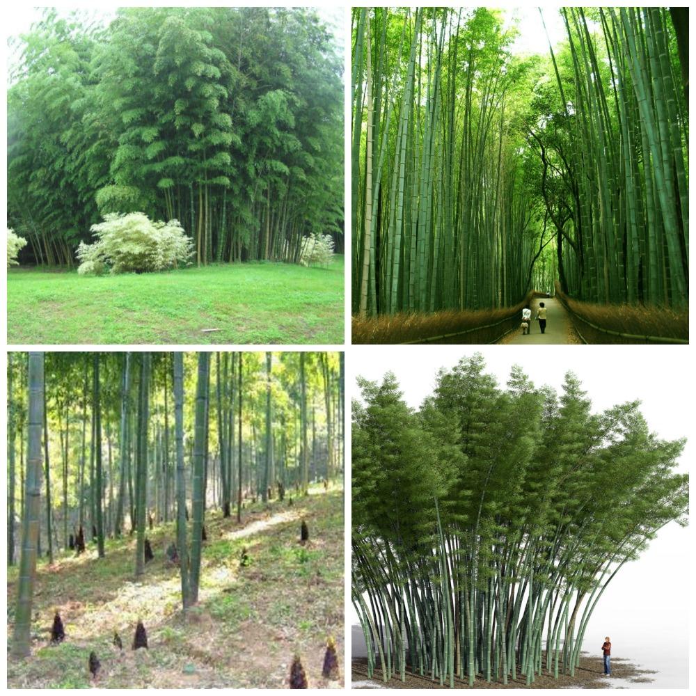 plantas de bamb gigante compra lotes baratos de plantas. Black Bedroom Furniture Sets. Home Design Ideas