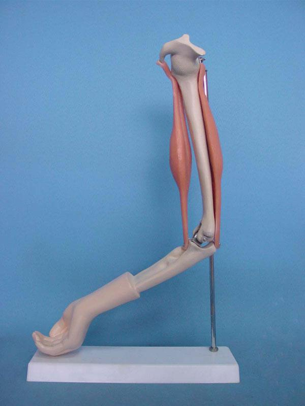 Free Shipping! Arm muscle model Human skeleton model Medical teaching mannequin(China (Mainland))
