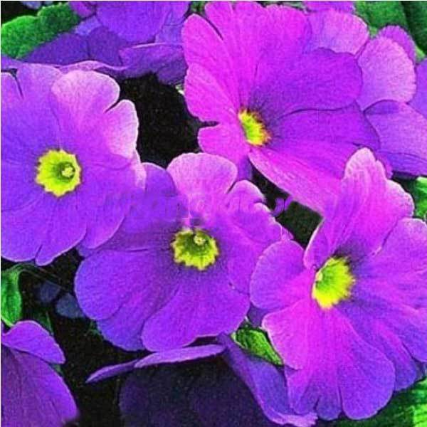 Foxton Polyantha Victorian Laced Primula Primrose Mix Flower Pacific Giants(China (Mainland))