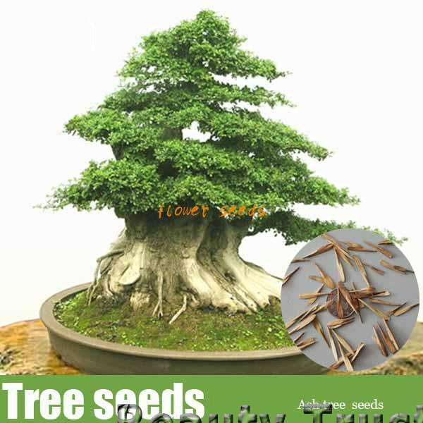20 Pcs Ash Tree Seeds, Perennial Green Bonsai Tree Seeds DIY Home & Garden