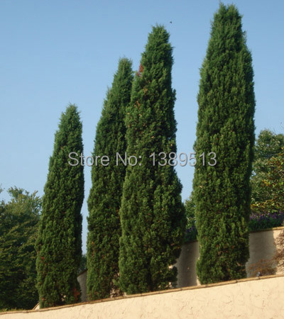 Tree seeds 100 pcs ITALIAN CYPRESS Cupressus Sempervirens Stricta seeds Home gardening Free shipping