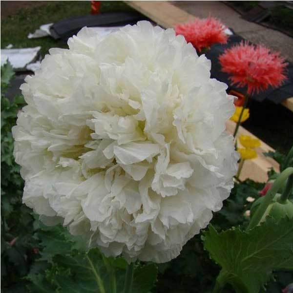 BidWise Shop 10PCS Papaver Rhoeas Europe White Corn Poppy Flower Seeds(China (Mainland))