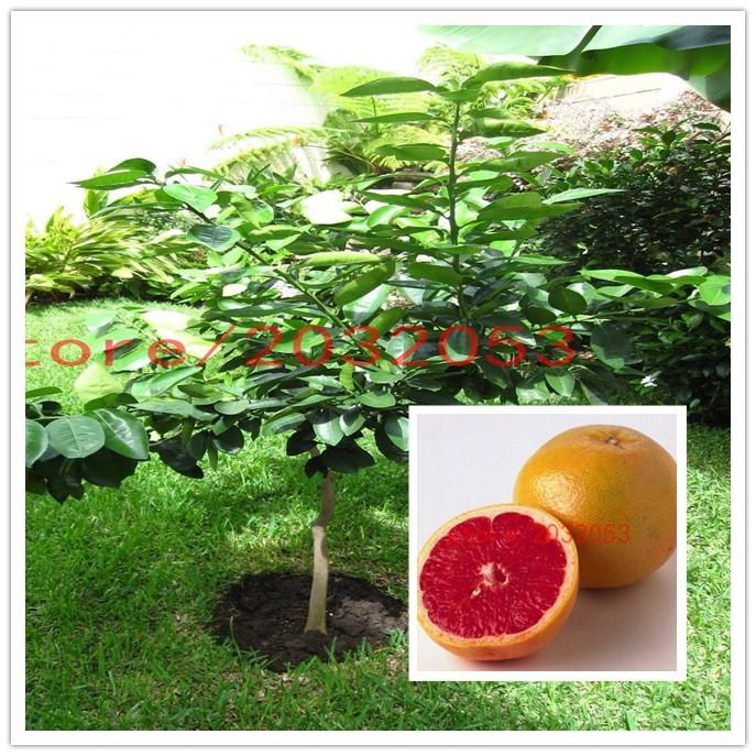 Thailand Fruit Wholesaler Email Mail: Online Kaufen Großhandel Grapefruit Pomelo Aus China