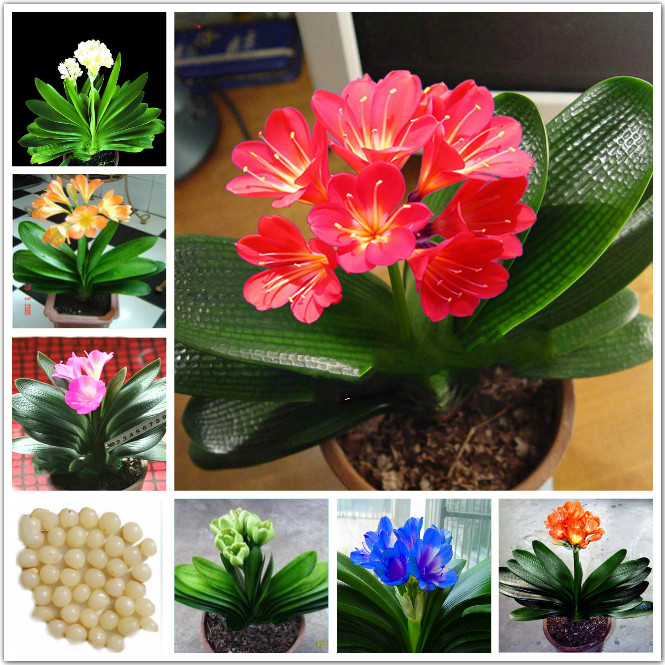 1 Pcs Real clivia seeds plants bonsai garden flower seed semente decorative flowers new year gift(China (Mainland))