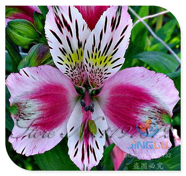 100 seeds / bag Peruvian Lily seeds, rare flower seeds, mixed colors, long lasting cut flower, easy to grow, garden bonsai plant