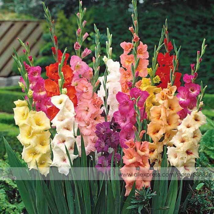 Различных многолетнее гладиолус семена цветов, 1 профессиональная упаковка, 50
