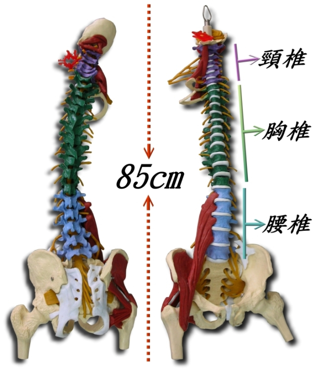 The body of the spine band belt spine model colored spine model(China (Mainland))