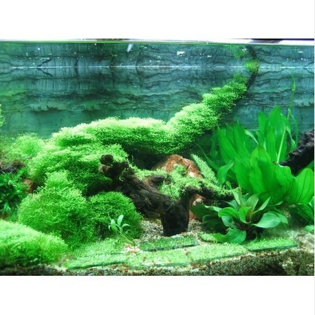 Popular fish pond plant buy cheap fish pond plant lots for Cheap pond plants