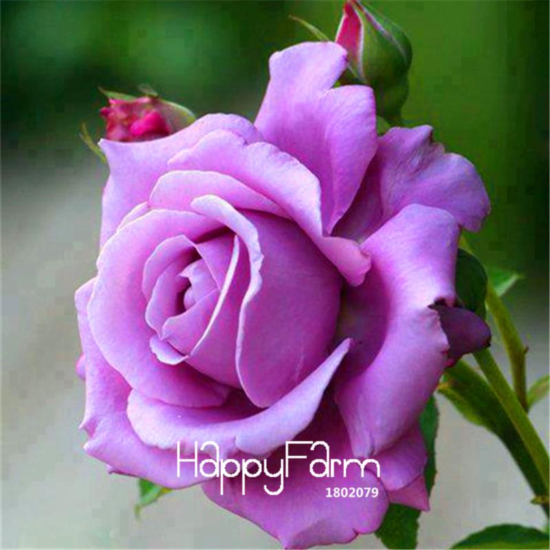 Big Sale!120/Bag Sterling Silver Rose Seeds Romantic Color Good Gift for DIY Home Garden Lover Bush Bonsai Flower,#OIEX0K(China (Mainland))