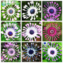 Hot Selling Rare 5 Colors Available 10Osteospermum Seeds Potted Flowering Plants Blue Daisy Flower - Mesprout store