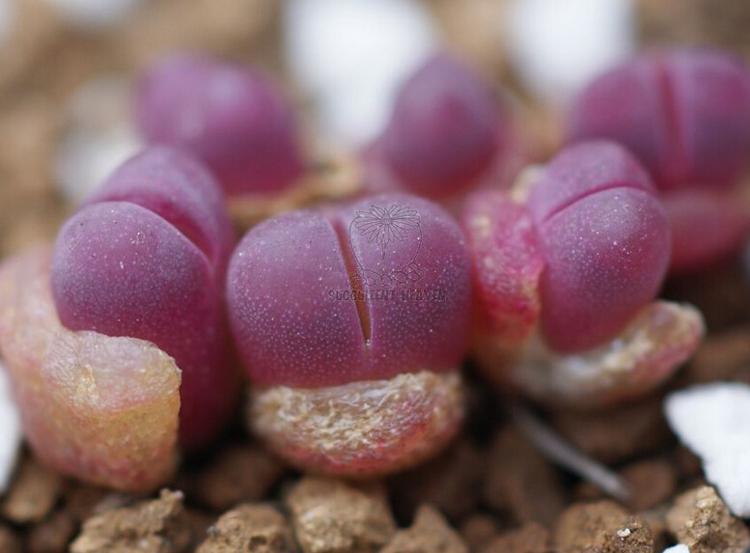 50pcs Mix Succulent seeds Lithops Pseudotruncatella Bonsai plants Seeds for home garden