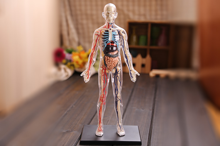4D Master assembled medical model human anatomy transparent body anatomical model free