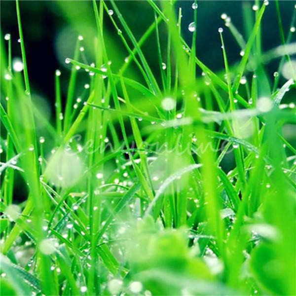 High quality 10000 Seeds / bag Tall Fescue Grass Seed ( Festuca arundinacea ) lawn grass Easy to Grow(China (Mainland))