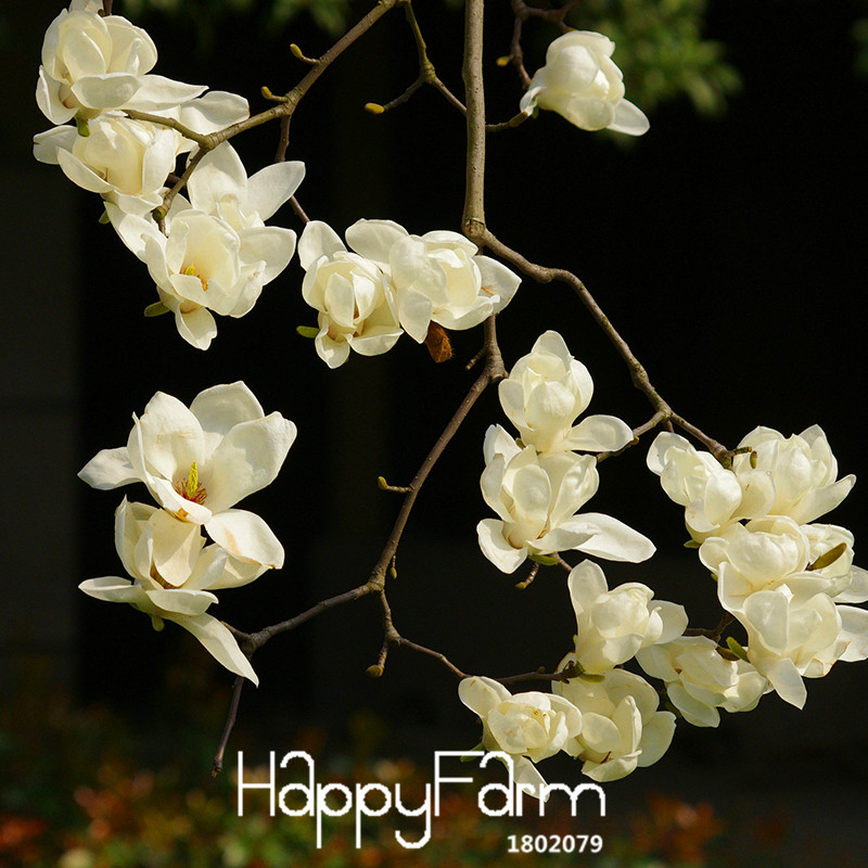 Best-selling Garden Plants Magnolia Seeds Bonsai Tree Seeds of Perennial Flower Seeds Multicolor 100 Seeds/Pack,#EGDUP9(China (Mainland))