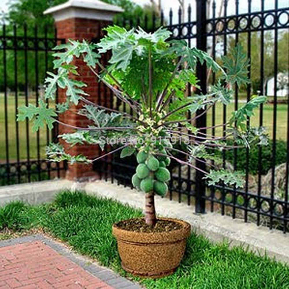 Fruit seeds rare20 seed dwarf hovey papaya tree plant - Plantar arboles frutales ...