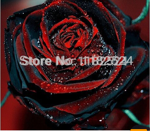 True Blood Black Rose 100PCS Rare Rose seeds Flowers Seeds.For Garden Bonsai Planting.Free shipping Semillas de rosa BLACK ROSE(China (Mainland))