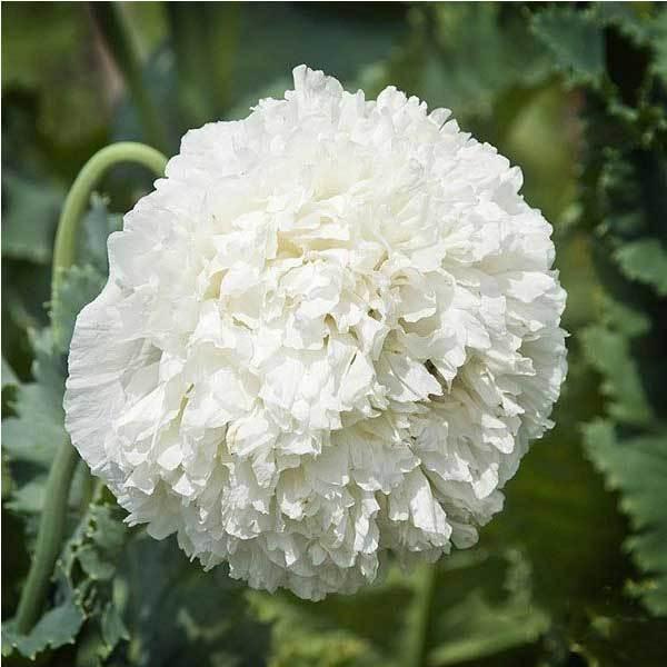 Glidewell 10PCS Papaver Rhoeas Europe White Corn Poppy Flower Seeds(China (Mainland))