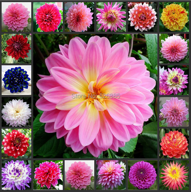 Dahlia Flowers in Pots Dahlia Potted Seed 100