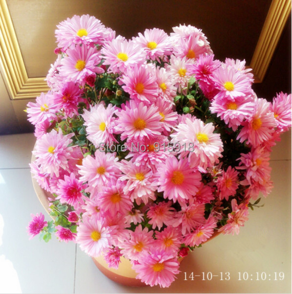 Flower seeds 100pcs daisy seeds Ornamental flowers potted