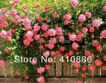 Pink Climbing rose seeds, 1 pack about 200 pieces !