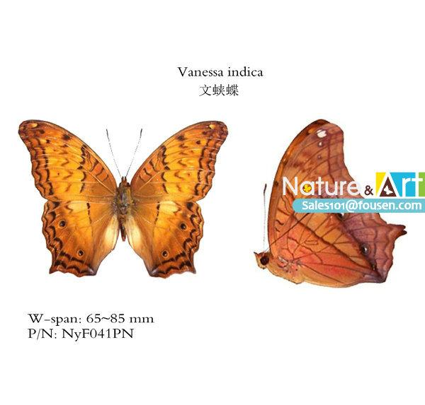 FOUSEN Nature&Art Vindula erota Asia butterfly(China (Mainland))