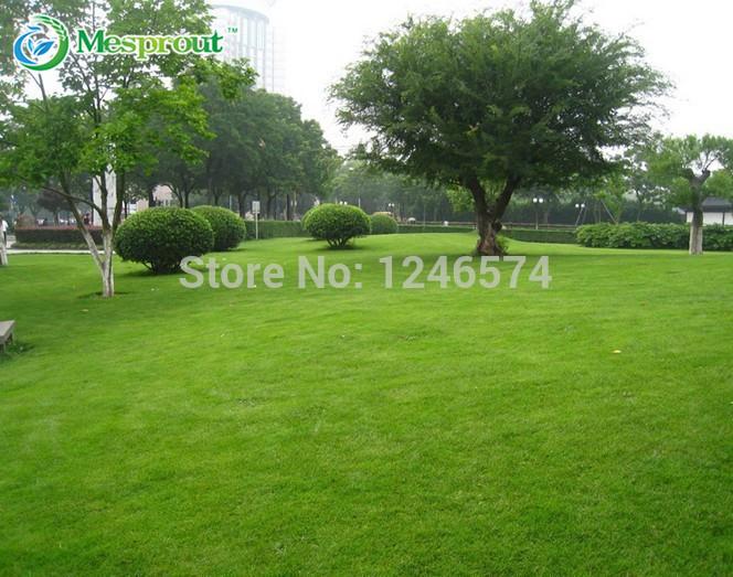 500 PCS grass seeds, Lawn Seed, evergreen perennial(China (Mainland))