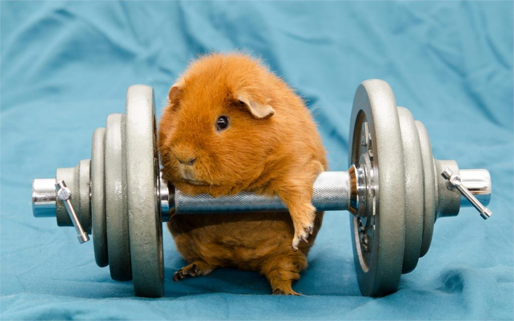 Humor funny art animals dumbbells gyms working out guinea pigs Poster Home Decor Wall Sticker 4 sizes Free Shipping(China (Mainland))