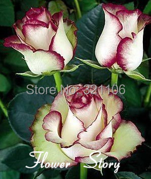 Free Shipping 20 Swept Away Rose Seeds --Fire & Ice Rose ,Beautiful DIY Home Garden Flower(China (Mainland))