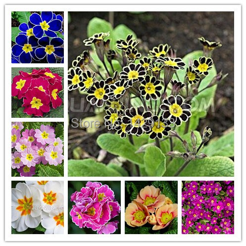 2015 Hot Sale Multicolor Primula Seeds 25 COLORS European Primrose Free shipping 150pcs Flower Seeds Colorful Flowers Woodland(China (Mainland))