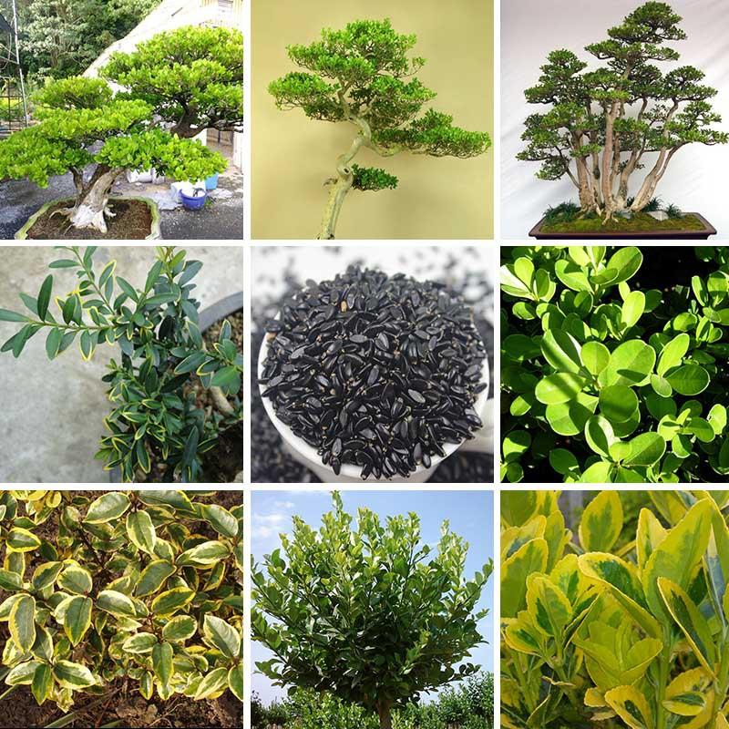 Acquista all 39 ingrosso online buxus bosso da grossisti for Tipi di bonsai