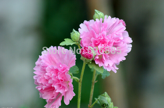 free shipping Hollyhock Flower Seeds,Althaea rosea,Easy to grow - 30 Seed particles(China (Mainland))