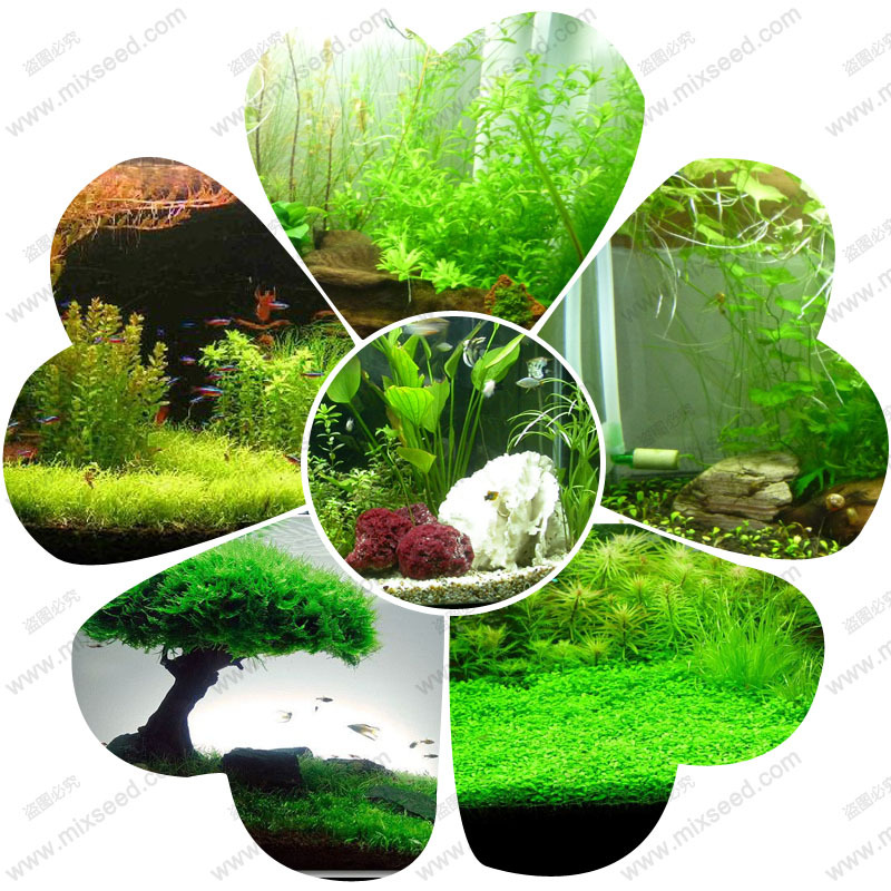Aquatic herb seeds, water grass seeds, fish tank aquarium dedicated grass seeds (variety random send) 500 particles / bag(China (Mainland))