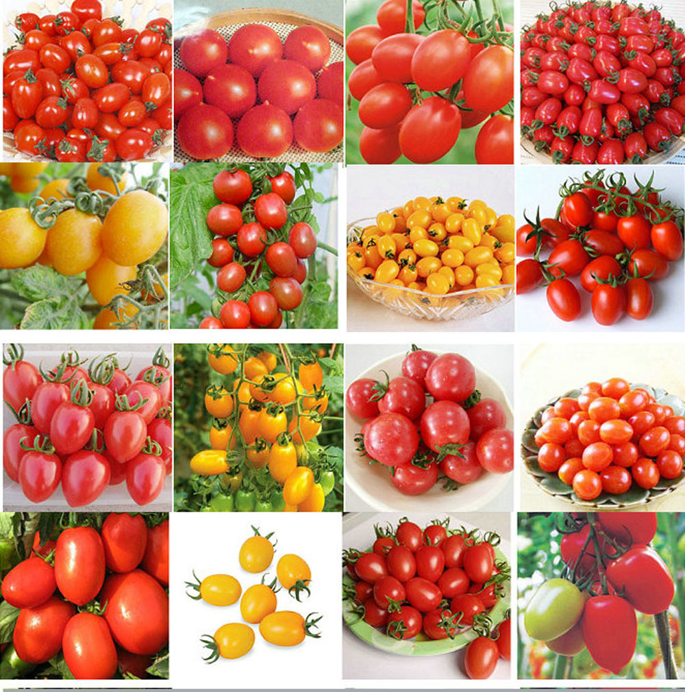 200pcs 24 KINDS Tomoto Seeds mixed packed Purple Black Red Yellow Green Cherry Peach Pear Tomato Seed Organic Food for Garden(China (Mainland))